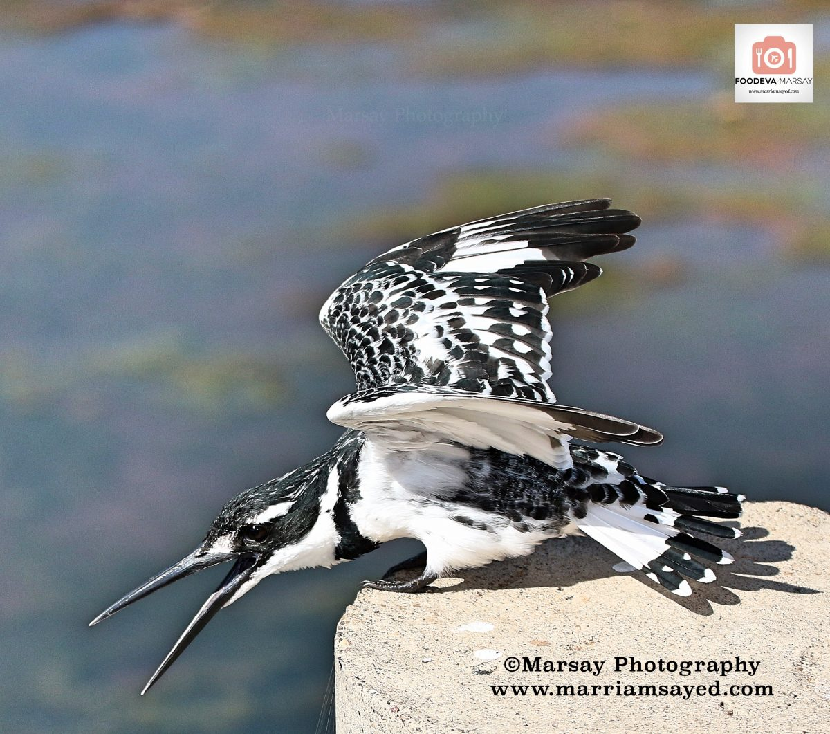 pied-kingfisher-wings-with-watermark-with-foodeva-sign-1200x1061.jpg