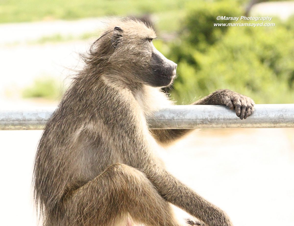 chachama-baboon-side-shot-watermark-1200x923.jpg