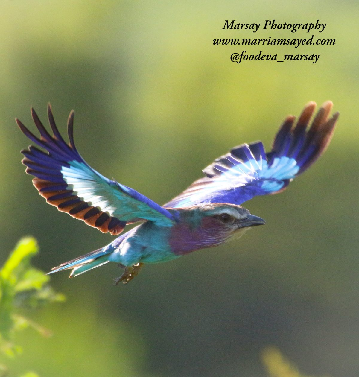 lilac-breasted-roller-in-flight2-1200x1260.jpg